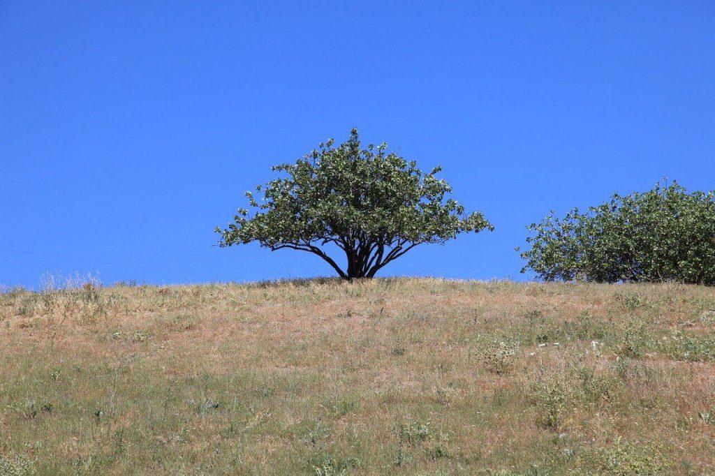 drzewo pistacjowe