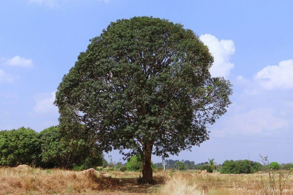 jak wygląda drzewo mango