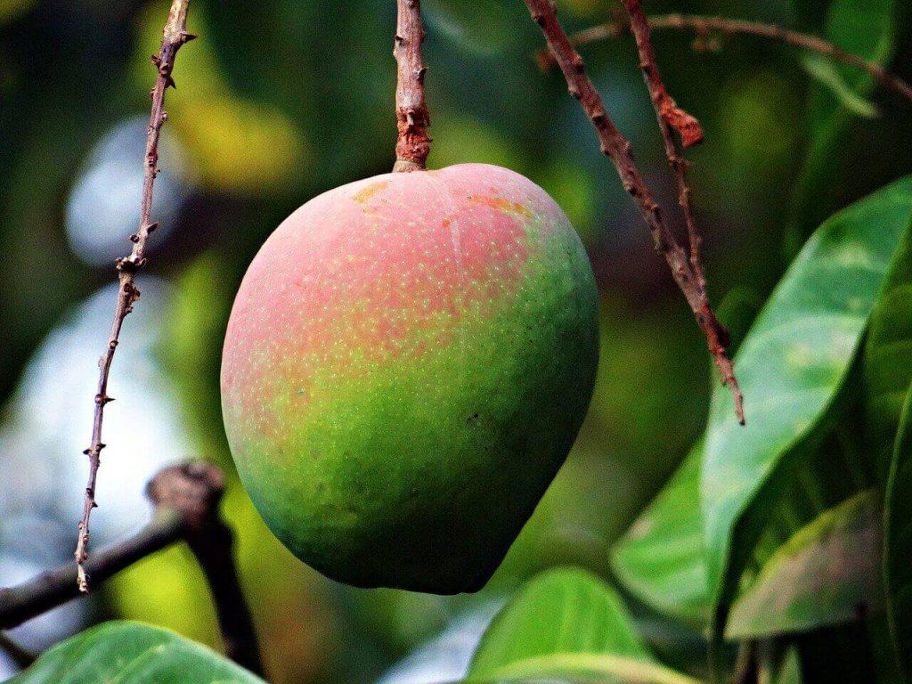 jak wyhodować mango