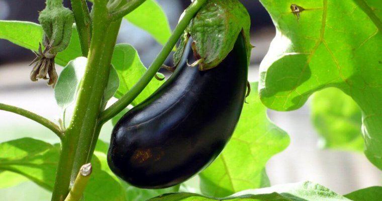 Uprawa bakłażana – jak rośnie bakłażan