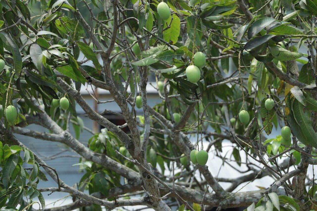 gdzie rośnie mango