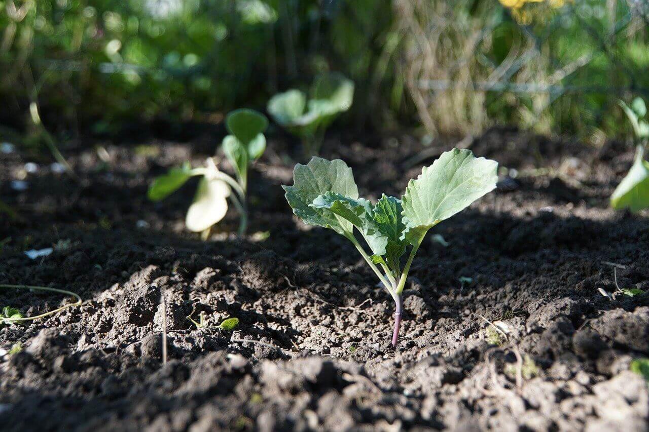 Jak rośnie kalarepa? – Przygotowania do uprawy