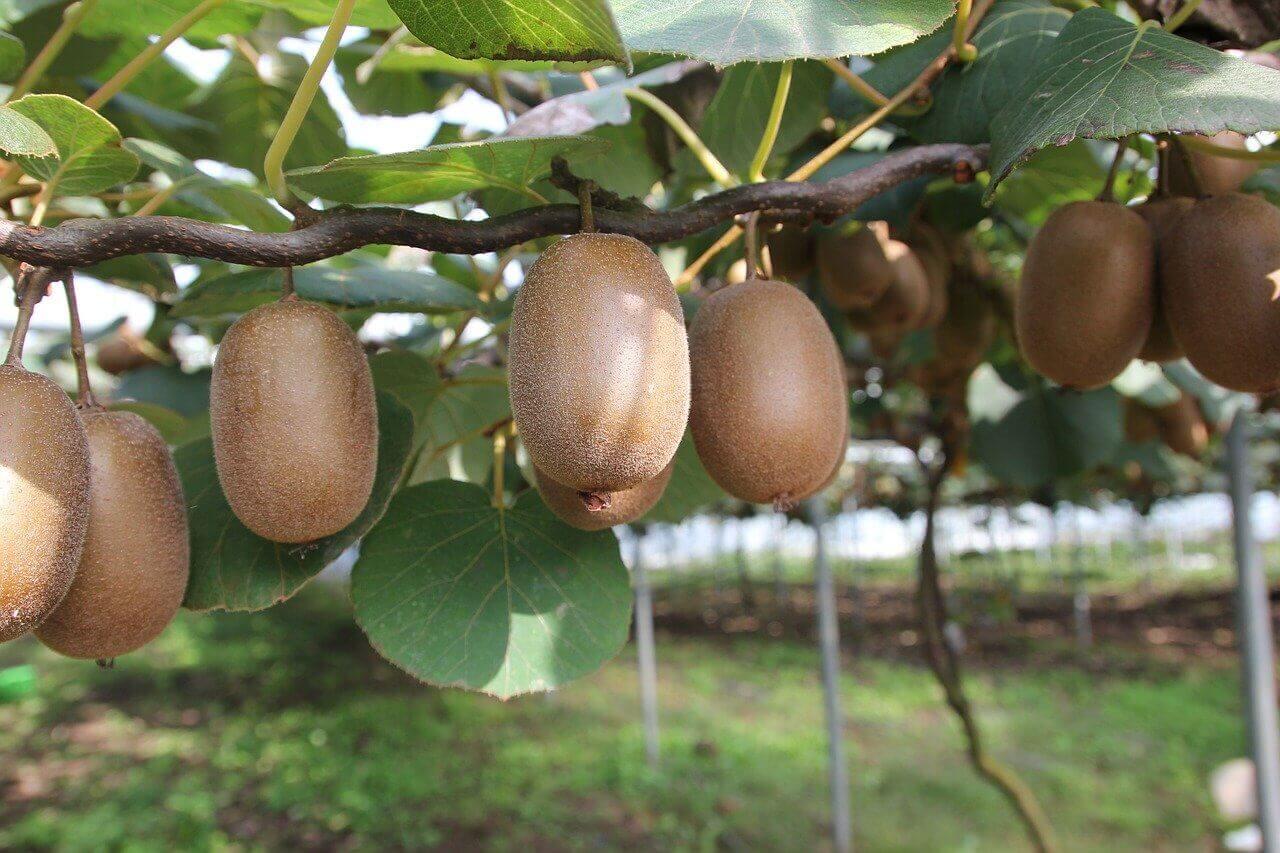 Jak rośnie kiwi – jak wygląda uprawa kiwi