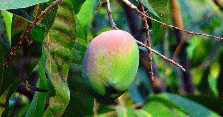 jak rośnie mango