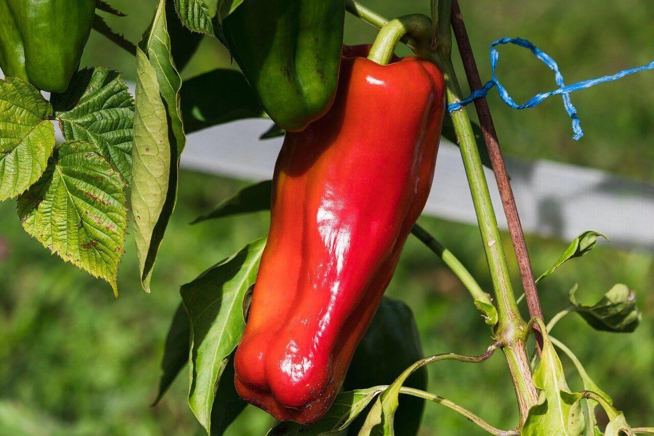 Jak rośnie papryka – kiedy sadzić i jak uprawiać paprykę?