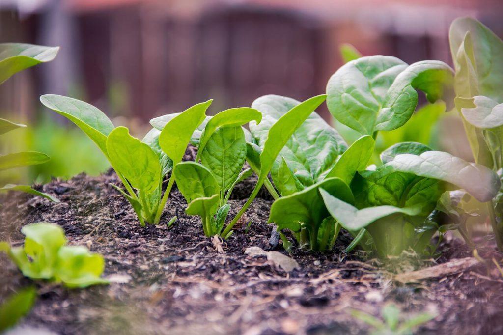 jak sadzić szpinak