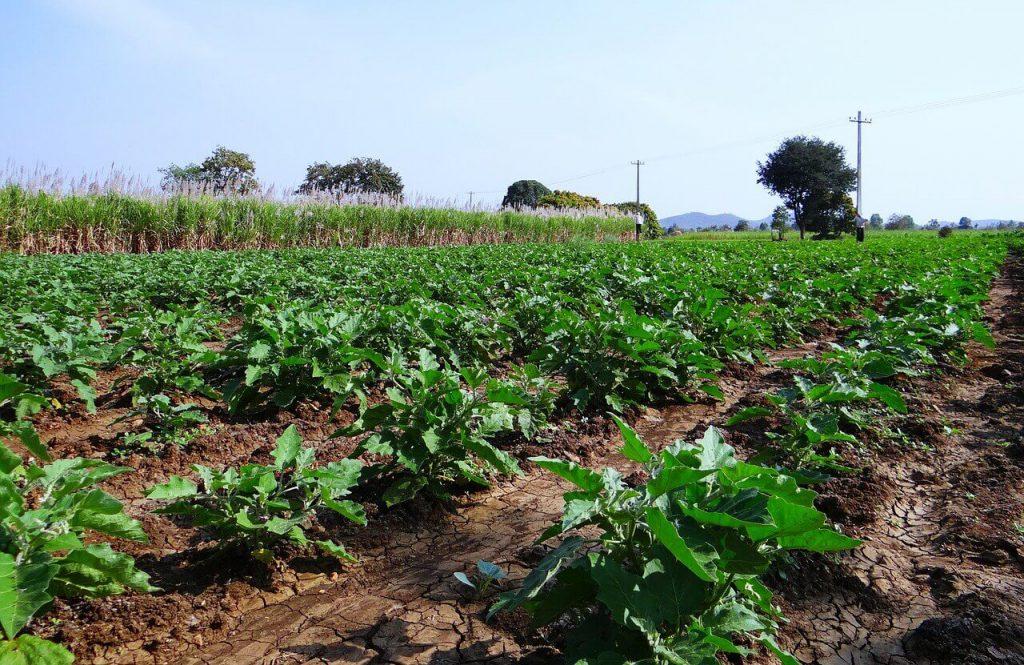 jak uprawiać bakłażany