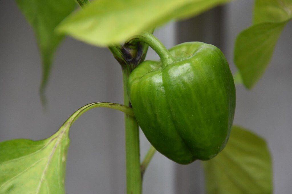 jak uprawiać paprykę w ogrodzie