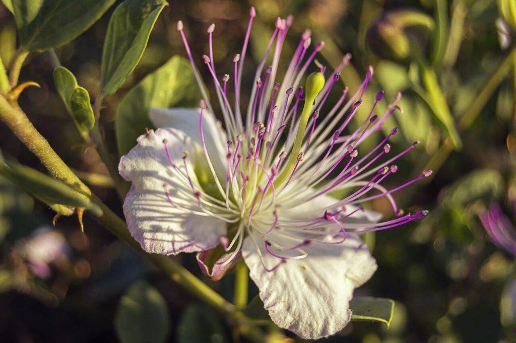 kapary kwiat jak wygląda