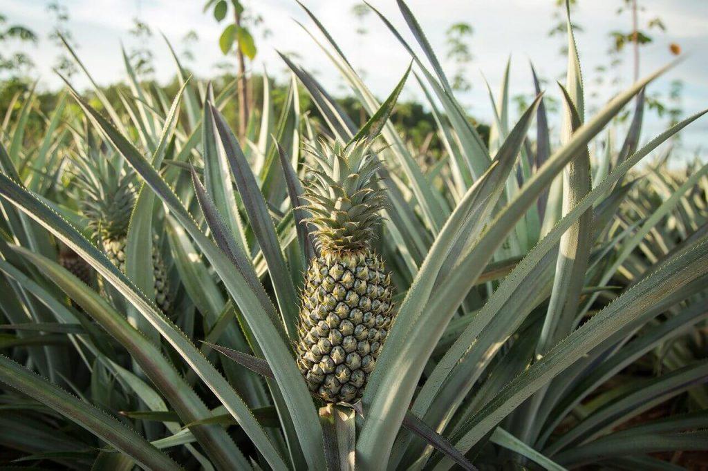 uprawa ananasa