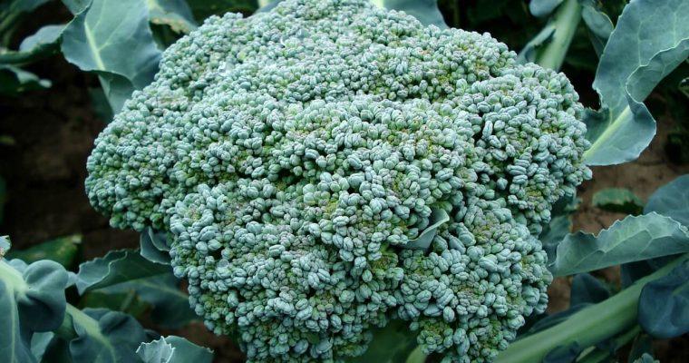 Jak rośnie brokuł – uprawa brokułu