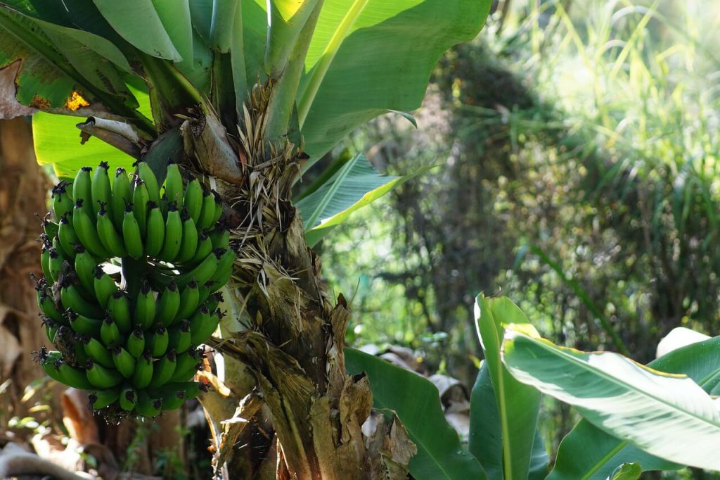 drzewo bananowe