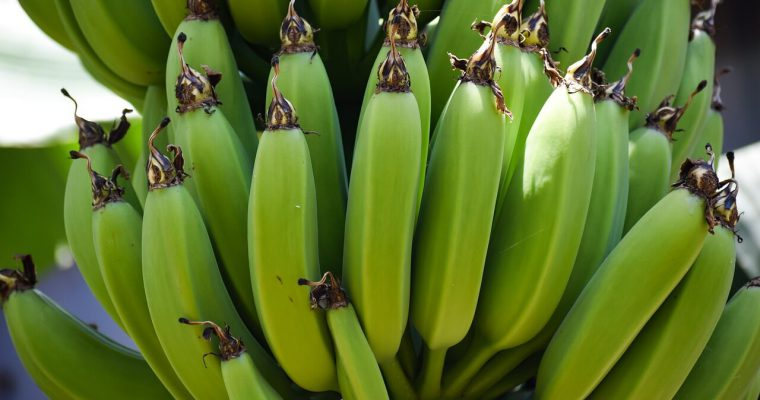 gdzie rosną banany