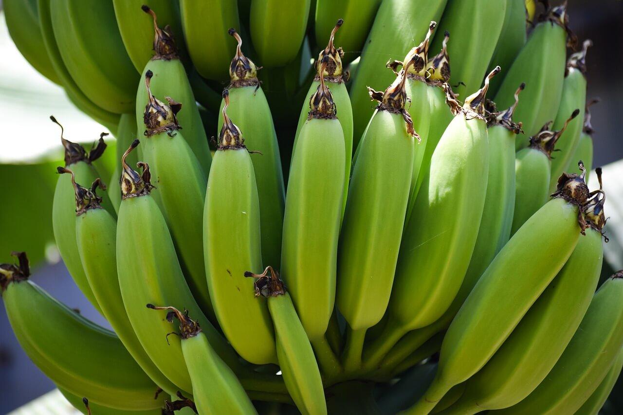 Gdzie rosną banany ? Jak wygląda drzewo bananowca