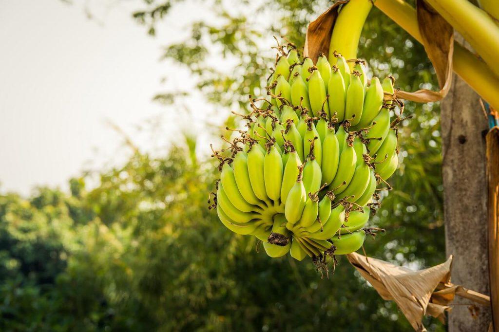 jak rosną banany