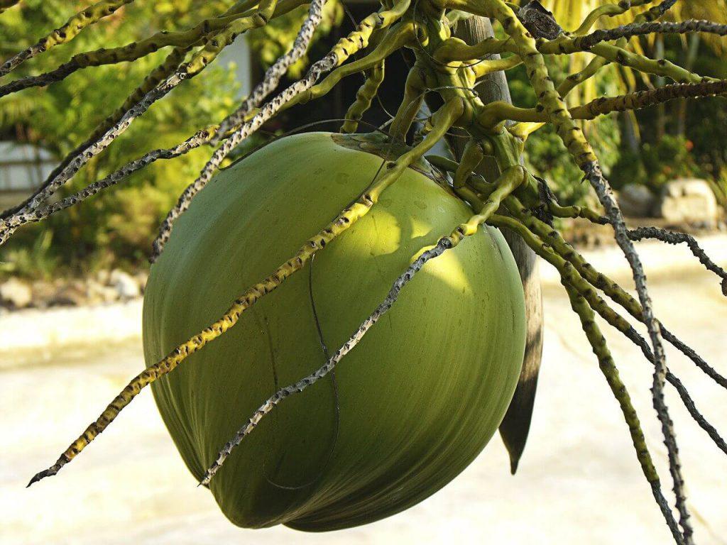 jak rosną kokosy