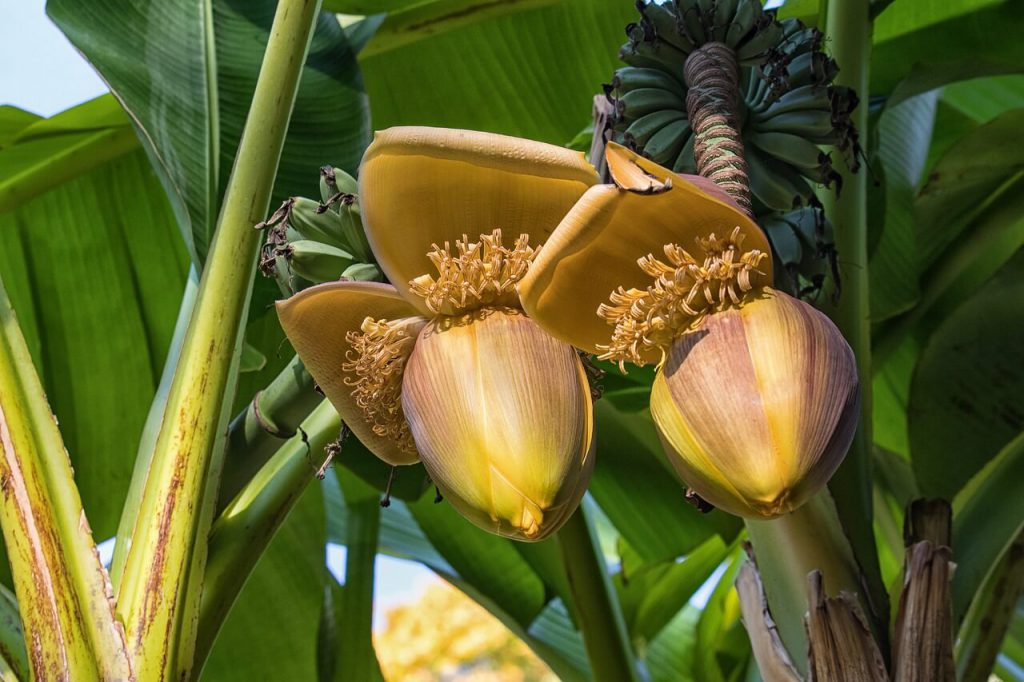 kwiat bananowca uprawa
