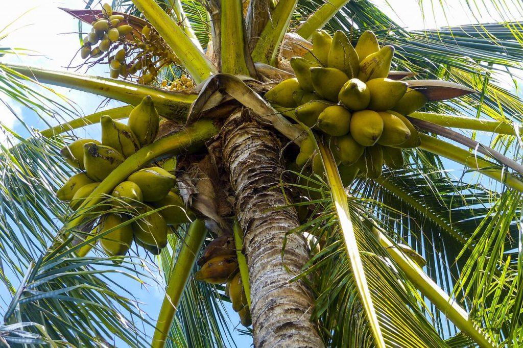 palmy kokosowe gdzie rosną