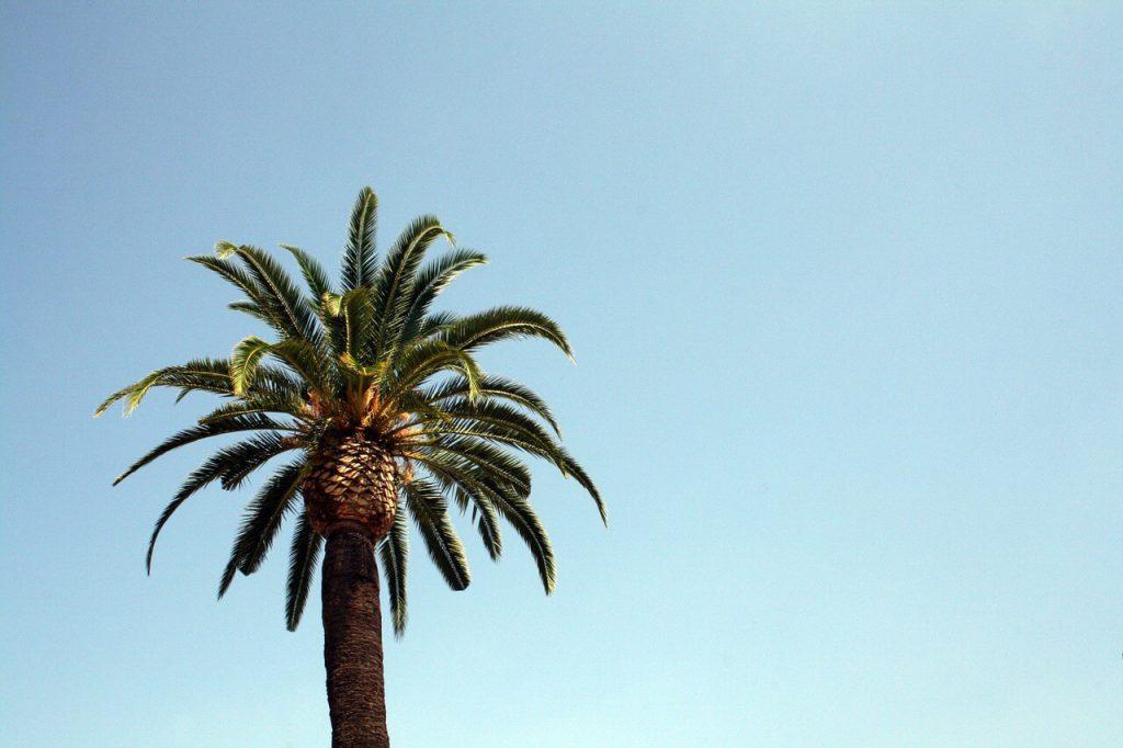uprawa kokosa - palma kokosowa